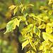 Клен ясенелистный `Аурео-Вариегатум`
