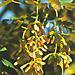 Клен ложноплатановый `Атропурпуреум`