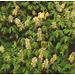 Каштан мелкоцветковый