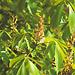 Каштан павия `Атросангвинеа`