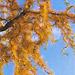 Лиственница тонкочешуйчатая `Диана`