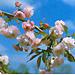 Вишня мелкопильчатая `Кику-шидаре-закура`