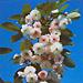 Вишня мелкопильчатая `Широ-фуген`