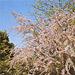 Тамарикс мелкоцветный